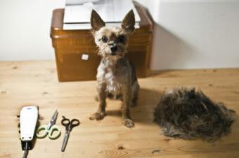 clipper cut on a cute dog