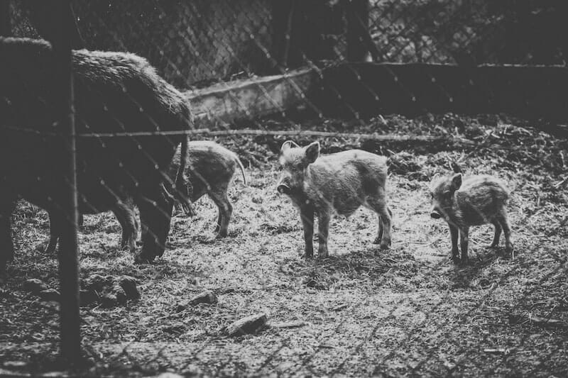 baby boars on a farm